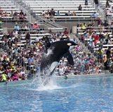 A Killer Whale Breaches in an Oceanarium Show Royalty Free Stock Images