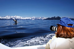 Killer whale breaching while being photographed, Orca royalty free stock images