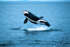Killer whale breaching (Orcinus orca), Alaska, Southeast Alaska, near Frederick Sound. Killer whale breaching in this beautiful Alaskan scene royalty free stock photography