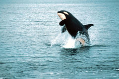 Killer whale breaching (Orcinus orca), Alaska, Southeast Alaska, near Frederick Sound. Killer whale breaching in this exciting Alaskan scene royalty free stock image