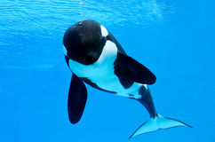 Killer Whale Bubbles Royalty Free Stock Images