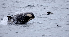 Killer Whale Chasing Gentoo Penguin Royalty Free Stock Photography