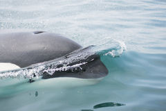 Killer whale close to camera Royalty Free Stock Image
