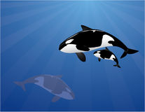 Killer whale family. Orca family in the ocean vector illustration Royalty Free Stock Photo