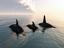 Killer whale family Stock Images
