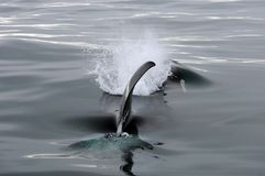 Killer Whale Fin Stock Photography
