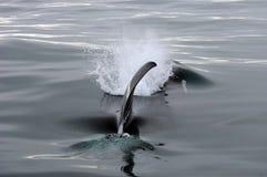 Killer Whale Fin. Off Victoria BC Canada Stock Photography