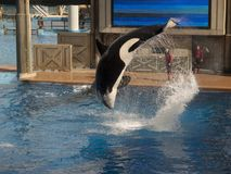 Killer Whale Flip at Seaworld, Orlando. Florida stock photo