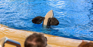Killer Whale Flippers Royalty Free Stock Photo