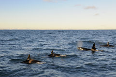 Killer Whale. Four Killer Whales coming up out of the water stock photo