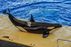 Killer whale, grampus, Orcinus orca dancing in oceanarium, Tenerife, Canarian Islands.  royalty free stock images