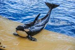 Killer whale, grampus, Orcinus orca dancing in oceanarium, Tenerife, Canarian Islands.  stock image