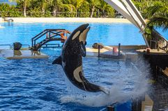 Killer whale, grampus, Orcinus orca jumping from the water in oceanarium, Tenerife, Canarian Islands.  stock photos