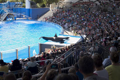 Killer whale greets crowed of visitors people during show at Sea World Royalty Free Stock Photo