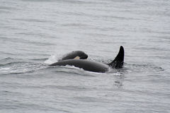 Killer Whale and her Calf Royalty Free Stock Images