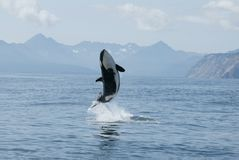 Killer whale high jump Royalty Free Stock Photos