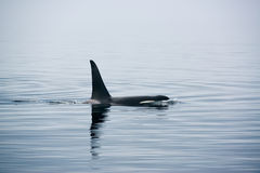 Killer Whale with huge dorsal fins at Vancouver Island royalty free stock image