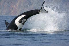 Killer Whale Hunting Royalty Free Stock Images
