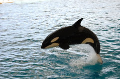 Killer whale jumping. Killer whale is jumping in the water stock image