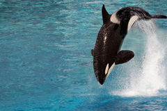 Killer whale jumping. Out of the water Royalty Free Stock Photos