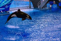 Killer whale jumping on blue water in One Ocean show at Seaworld 7. Orlando, Florida, January 01, 2019 . Killer whale jumping on blue water in One Ocean show at stock image