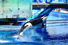 Killer whale jumping on blue water in One Ocean show at Seaworld 2. Orlando, Florida, January 01, 2019 . Killer whale jumping on blue water in One Ocean show at stock images