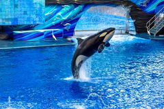 Killer whale jumping on blue water in One Ocean show at Seaworld 6. Orlando, Florida, January 01, 2019 . Killer whale jumping on blue water in One Ocean show at royalty free stock photography