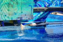 Killer whale jumping on blue water in One Ocean show at Seaworld 3. Orlando, Florida, January 01, 2019 . Killer whale jumping on blue water in One Ocean show at royalty free stock images