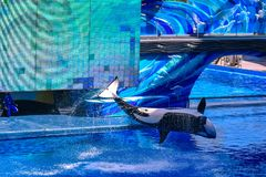Killer whale jumping on blue water in One Ocean show at Seaworld 4. Orlando, Florida, January 01, 2019 . Killer whale jumping on blue water in One Ocean show at stock photos