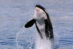Killer whale jumping out of water Royalty Free Stock Photo