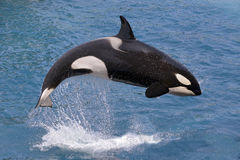 Killer whale jumping out of water. Killer whale (Orcinus orca) jumping out of the water stock photo