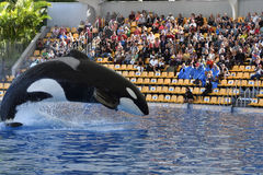 Killer Whale jumping in a pool Royalty Free Stock Image