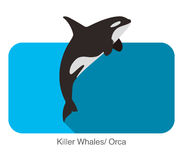 Killer Whale jumping in the sea flat icon design. Vector illustration Stock Photos