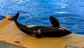 Killer Whale Laid Down Stock Photography