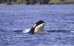 a killer whale is looking on the surface royalty free stock photography
