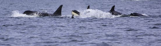 a killer whale is looking on the surface royalty free stock photo