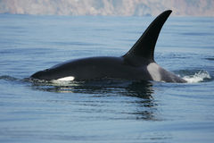 Killer whale male Royalty Free Stock Images