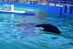 Killer whale at Miami Seaquarium Royalty Free Stock Image