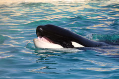 Killer whale mouth Stock Photos