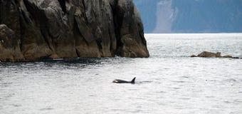 Killer Whale North Pacific Ocean Sea Life Marine Mammal Stock Photo