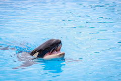 Killer Whale. Opening mouth in the swimming pool. Big orca Stock Images