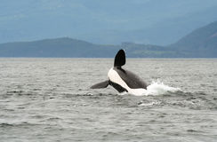Killer whale (orca) breaching Stock Photography