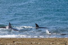 Killer Whale, Orca, hunting a sea lion royalty free stock images