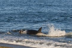 Killer Whale, Orca, hunting a sea lion pup, royalty free stock images