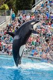 Killer Whale Orca jumping from the water at Sea World stock photography
