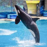 Killer Whale Orca jumping from the water at Sea World stock images