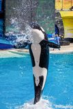 Killer Whale Orca jumping from the water at Sea World stock photo