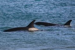 Killer Whale, Orca, royalty free stock images