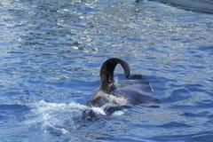 Killer whale orca. Orcas killer whale orca in sea royalty free stock photography