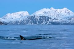 Killer whale, orca, orcinus orca. Swiming whale. Whale on the surface. Hunting killer whale. The dorsal fin of the whale. Winter in Norway. Norway coast. Back of stock photo